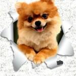 Pomeranian_svetlo_ozadje_preview_design_svetla